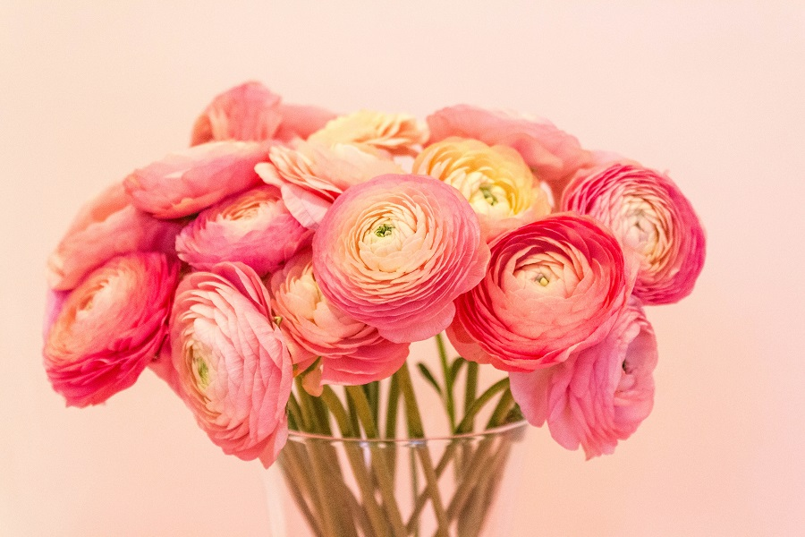 peach watermelon ranunculus in vase