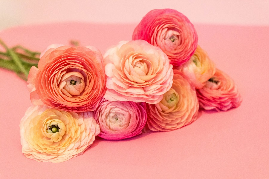 yellow orange pink ranunculus