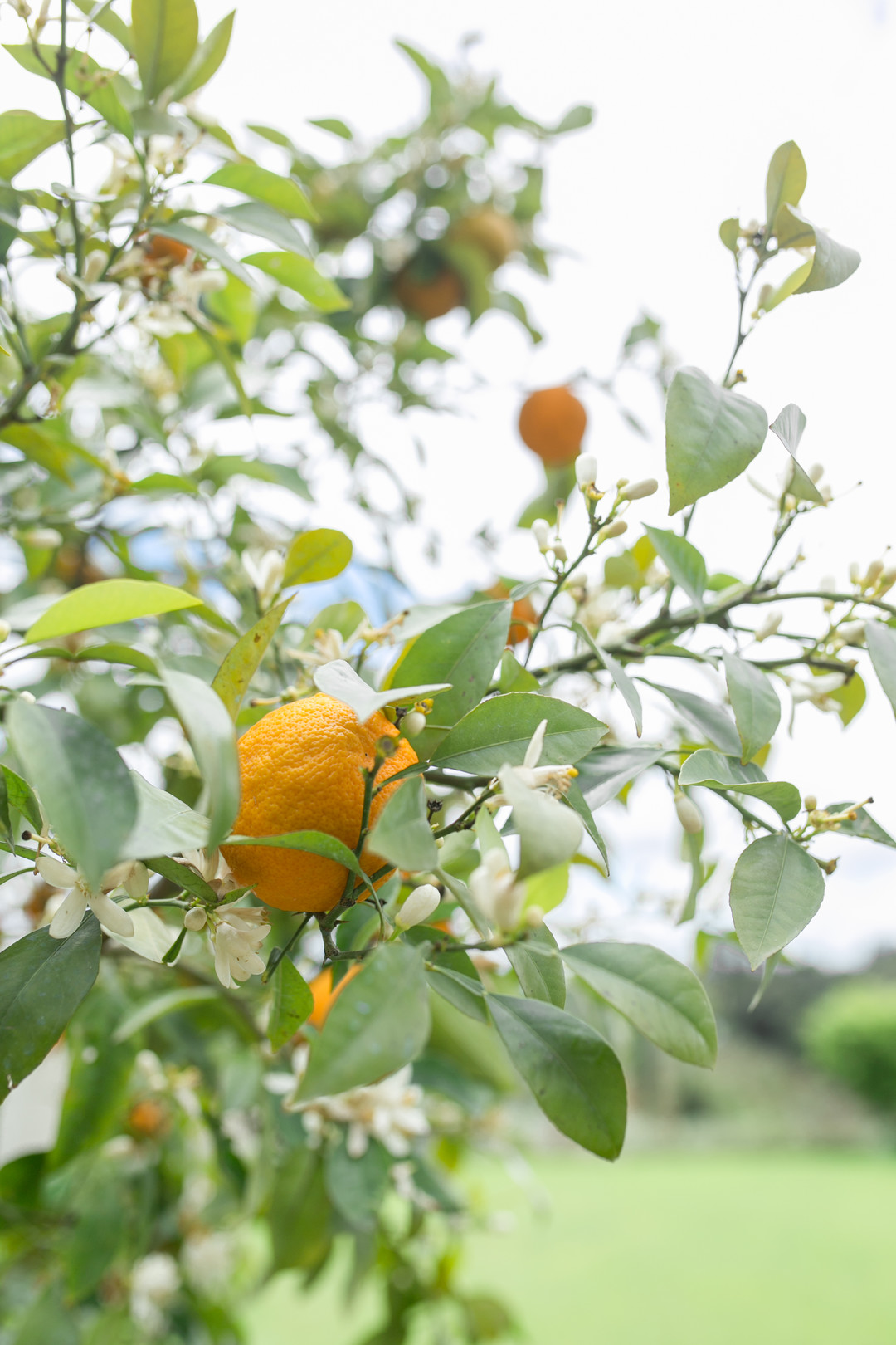tuscan lemon tree