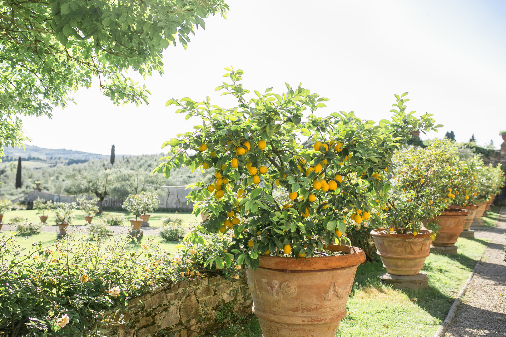 Italian lemon trees