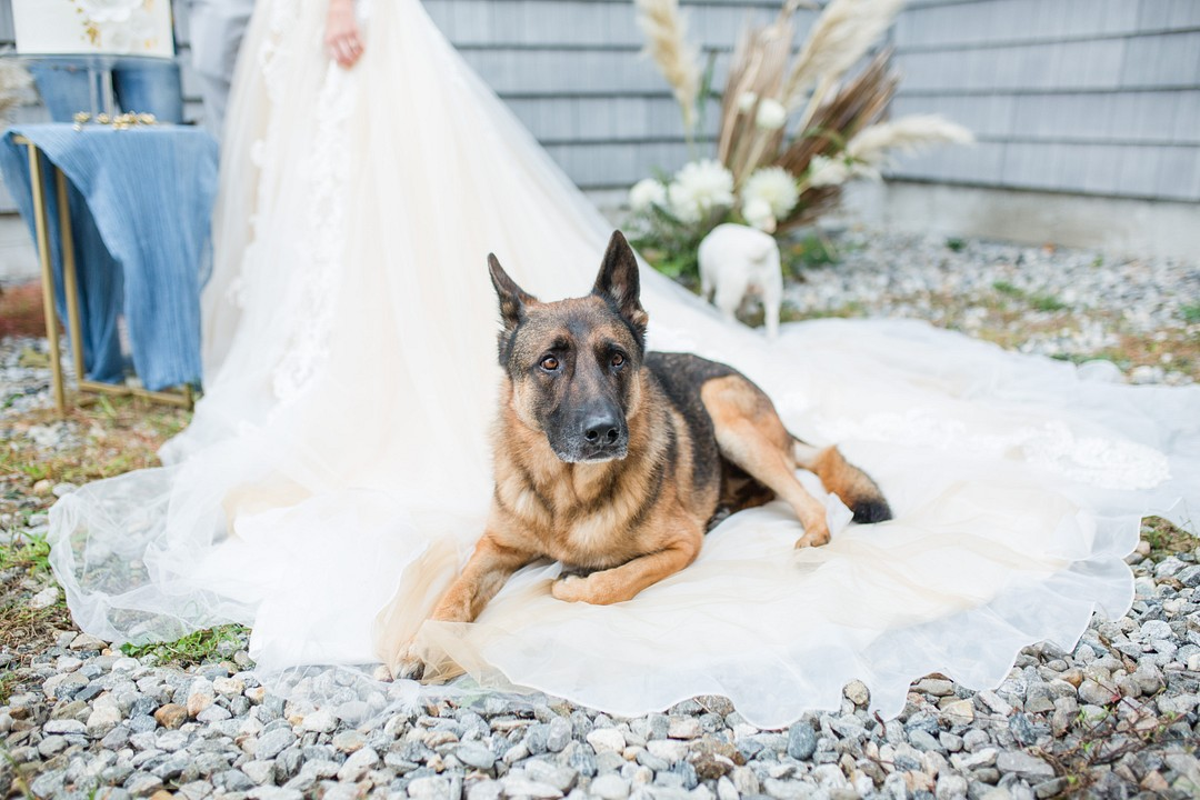 German Shepard pup sitting on a bride's train