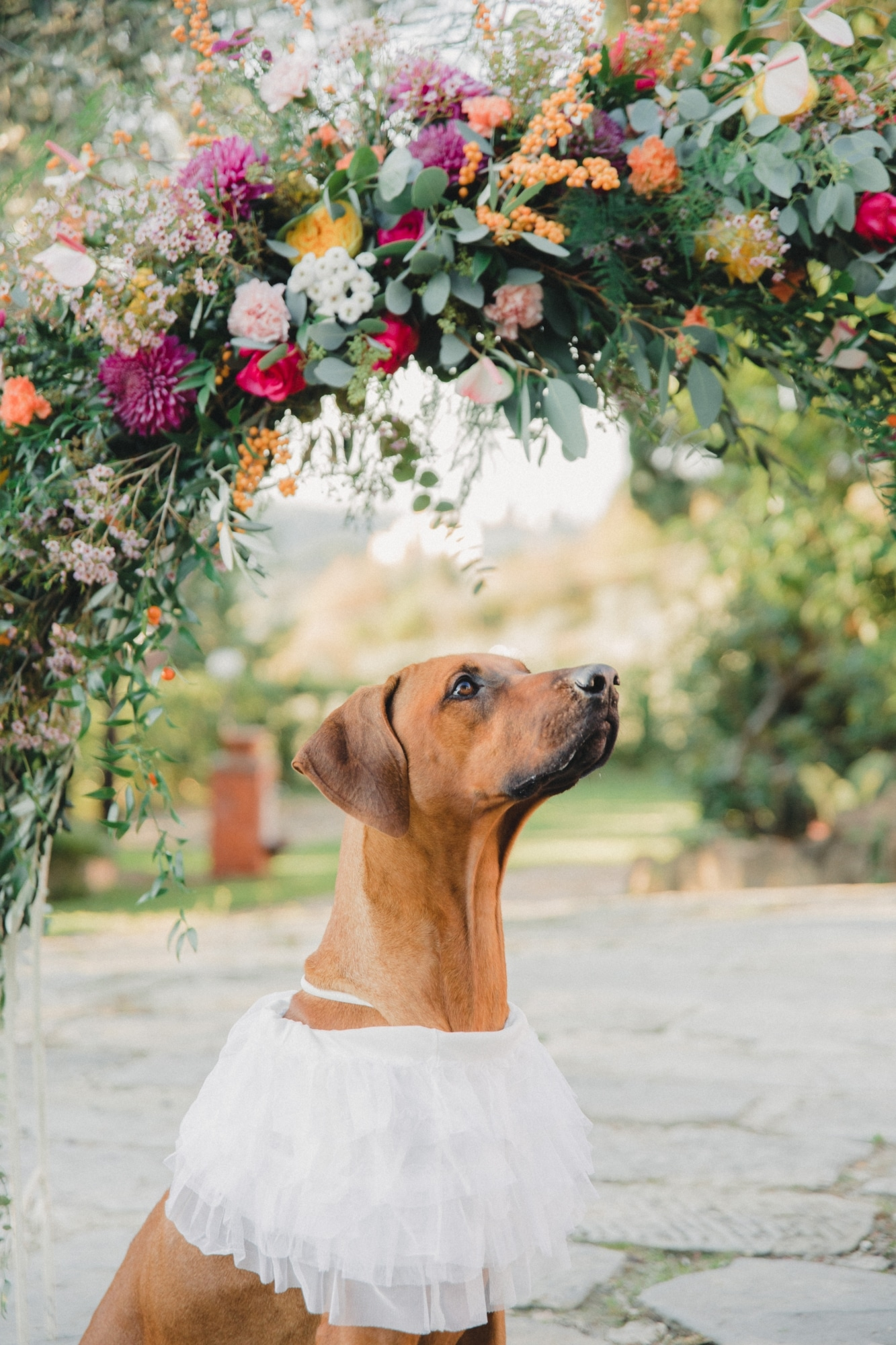 Rhodesian Ridgeback Photo Shoot